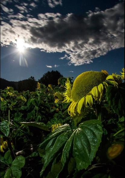 sunflowerundermoonlight